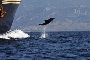 Bottlenose Dolphin - playing / bow riding in front of cargo ship in the strait of