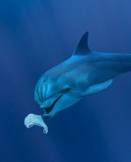 Bottlenose Dolphin playing with plastic bag underwater