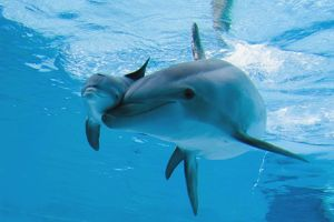 Bottlenose Dolphin - recently born calf swims with mother