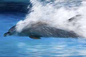 Bottlenose Dolphin - Swimming at speed through water