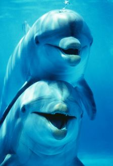 Bottlenose DOLPHIN - two, facing, one on top of the other