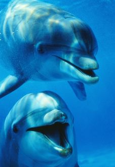 Bottlenose DOLPHIN - x2, head close-up, facing camera, smiling