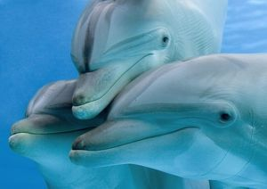 Bottlenose dolphins - three close-up of heads underwater