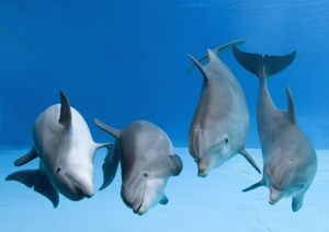 Bottlenose dolphins - four dancing underwater