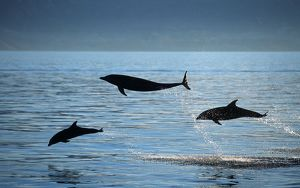 Bottlenose Dolphins - Group of three leaping