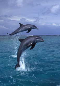 BOTTLENOSE DOLPHINS - two leaping out of water