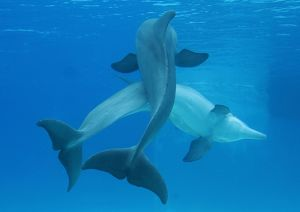 Bottlenose dolphins - pair mating