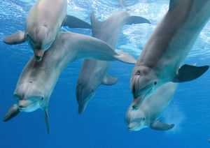 Bottlenose dolphins - playing underwater