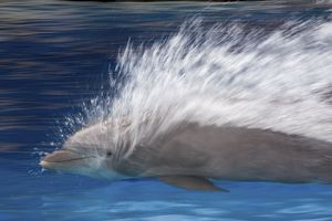 Bottlenose Dolphins - Swimming at speed through water