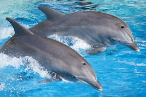 Bottlenose Dolphins - Tail dancing