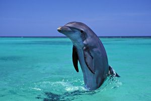 Bottlenosed Dolphin - emerging from water