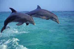 Bottlenosed Dolphin - two leaping