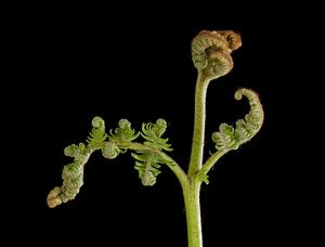 Bracken Fern - development of leaves in spring