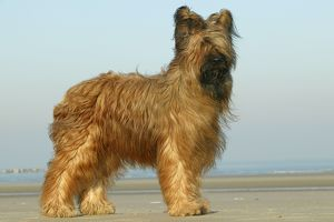 Briard Dog - side view, standing on beach