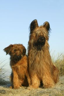 Briard Dogs - two