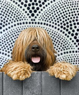 Briard - looking over fence - patterned background