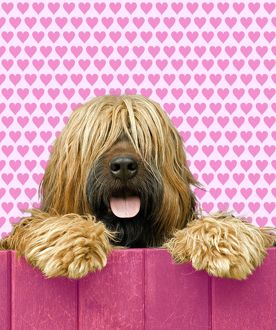 Briard - looking over pink fence - heart background.