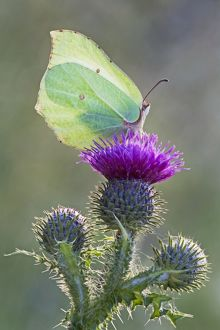 Brimstone Butterfly - perched on thistle and being backlit by early morning sunshine