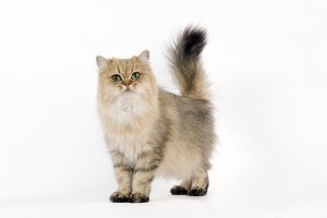 British Longhair Black Shaded Cat