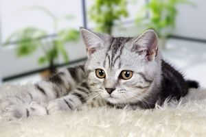 British Shorthair Silver Tabby Cat
