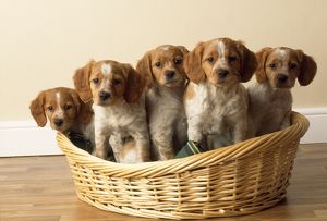 Brittany Dog - puppies