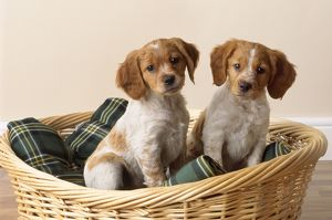 Brittany Dog - puppies in basket