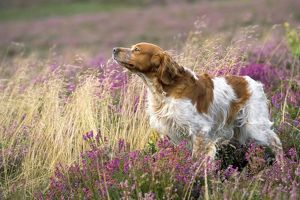 Brittany Dog - sniffing the air