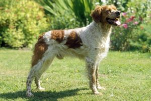 BRITTANY DOG - STANDING SIDE ON