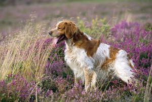 BRITTANY DOG - side view in heath