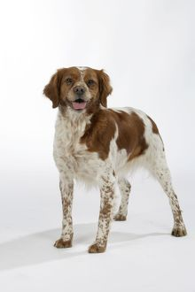 Brittany / Epagneul Breton DOG - female standing