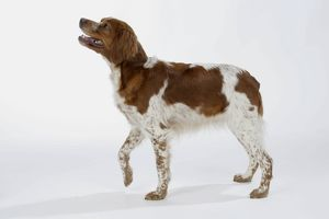 Brittany / Epagneul Breton DOG - female standing, side view