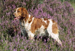 Brittany / Epagneul Breton Dog - in heather