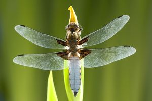 Broad Bodied Chaser Dragonfly - warming on Yellow Iris