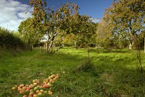 Broad Oak Orchard - community orchard and Dorset