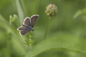 Brown Argus Butterfly - Yorkshire - UK