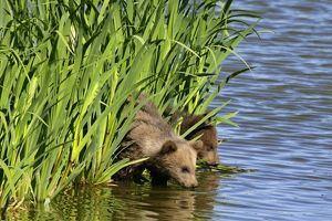 Brown Bear - two cubs drinking water at a lake
