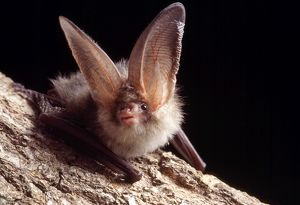 Brown / Common Long-eared / Long-eared BAT - Close-up on tree