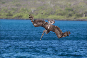 Brown Pelican - Diving for fish - off the shore