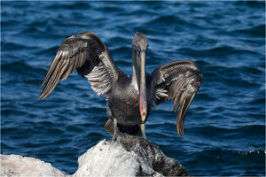 Brown Pelican - On the rocky shore of San Cristobal