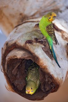 Budgerigar - adult sitting on a hollow eucalypt tree branch in which the nest with