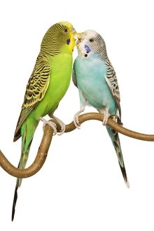 Budgerigars - two on perch