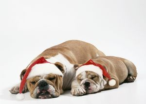 Bulldog - asleep with puppy wearing Christmas hats