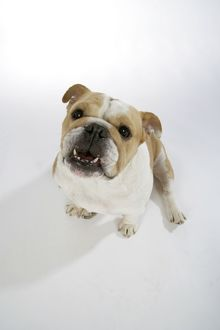 Bulldog - female sitting down, looking up