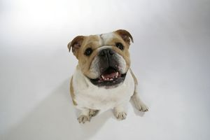 Bulldog - female sitting down looking up