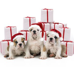 Bulldog Puppies - sitting with Christmas presents, wearing Christmas hats.