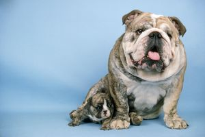 Bulldog - with puppy