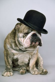 Bulldog - wearing bowler hat