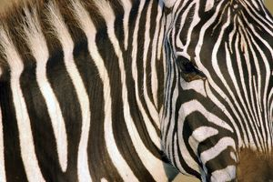 Burchell's / Common / Plains Zebra - Close up of zebra coat and