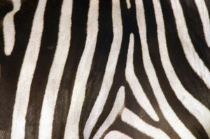 Burchell's / Common / Plains Zebra - Close up of zebra coa