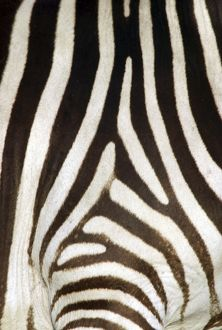 Burchell's / Common / Plains Zebra - Close up of zebra coat